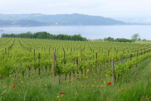 Ein Ausblick wie gemalt - Weinstöcke am Corbarasee